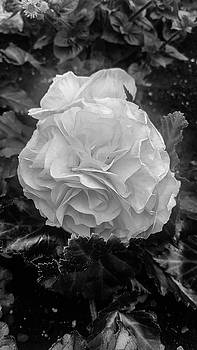 Black and White Rose by Britten Adams
