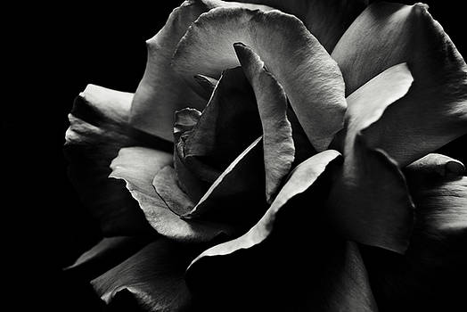 Black and White Rose by Grebo Gray