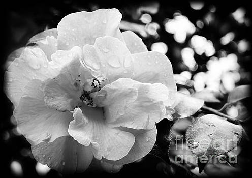 Black and White Rose of Sharon by Eva Thomas