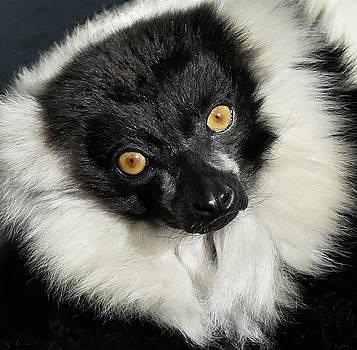 Black And White Ruffed Lemur Portrait by Margaret Saheed