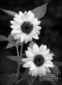 Black and White Sunflower 4 by Mellissa Ray