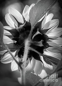 Black and White Sunflower 5 by Mellissa Ray