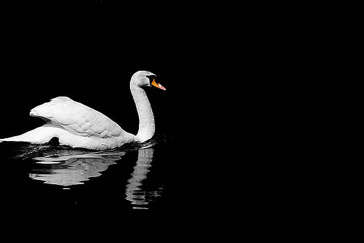 Black and White Swan by Wayne Howes