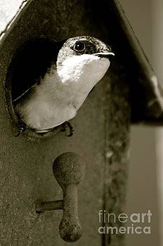 Black and White Tree Swallow by Stephanie Bland