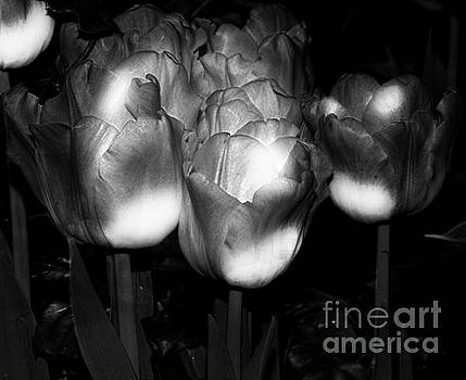 Black And White Tulips by Kathleen Struckle