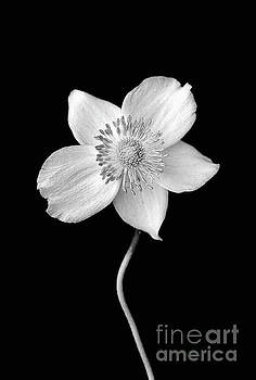 Black and White Wildflower by Darren Fisher