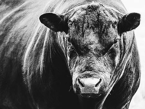 Black Angus Bull by Debi Bishop