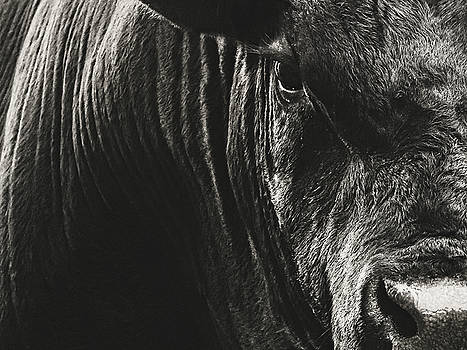 Black Angus Bull Portrait by Debi Bishop