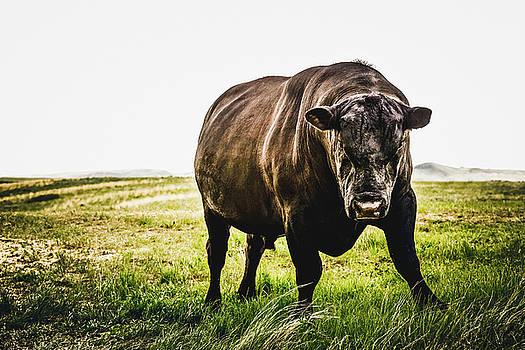 Black Angus Bull With Attitude by Debi Bishop