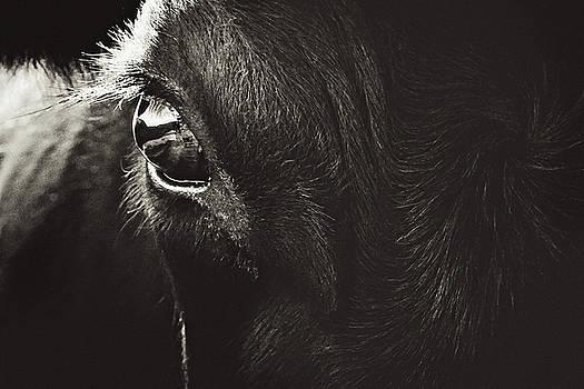 Black Angus Staring by Debi Bishop