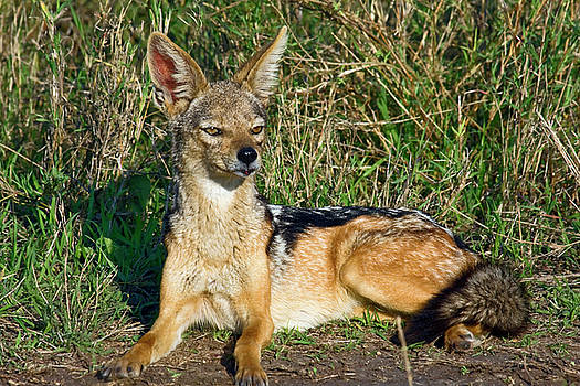 Black-backed Jackal by Sally Weigand