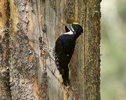 Black-backed Woodpecker by Doug Herr