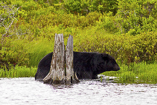 Black Bear at Water's Edge by John Stoj