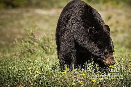 Black Bear by Brad Allen Fine Art