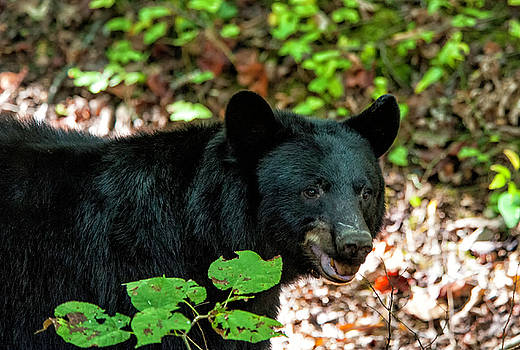 Black Bear by Cathie Crow