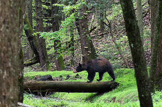 Black bear crossing log in woods by Dan Friend