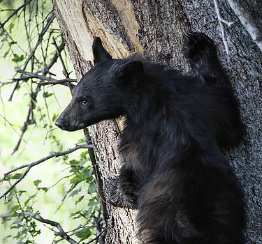 Black Bear Cub Climbing A Tree by Dan Sproul