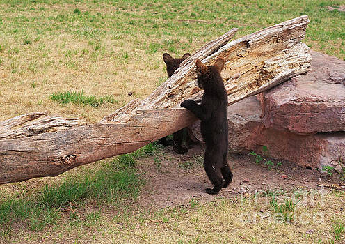Black bear cubs playing beside a log by Louise Heusinkveld