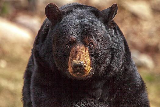 Black Bear by Eunice Gibb