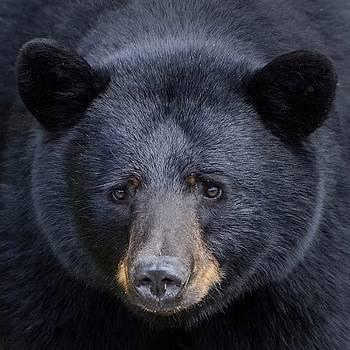 Black Bear Face by Ian Harland
