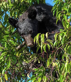 Black Bear Feeding In A Cherry Tree by Eric Albright