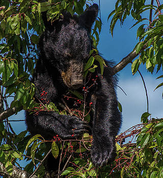 Black Bear In A Cherry Tree by Eric Albright