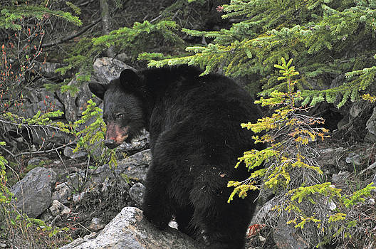 Black Bear in Rocks by Michelle Halsey