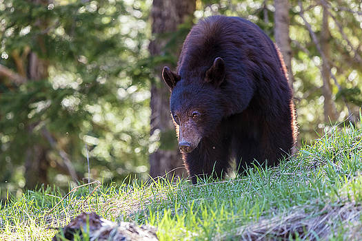 Black Bear in the Wilderness of British Columbia by Pierre Leclerc Photography