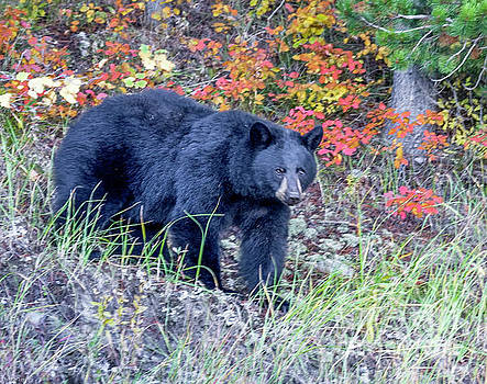 Black Bear in Wyoming by Thomas Levine