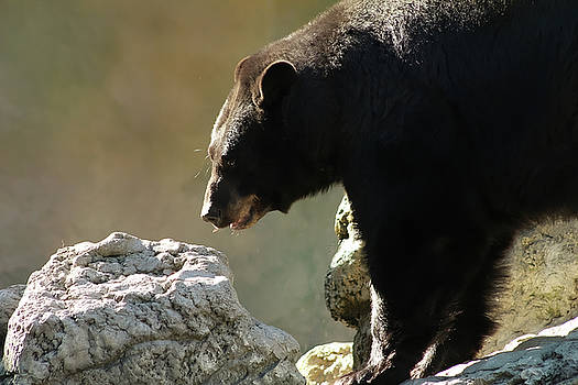 Black Bear On The Rocks by TnBackroadsPhotos