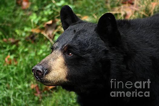 Nick Gustafson - Black Bear Profile