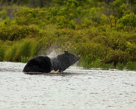 Black Bear Shaking Water Off by John Stoj