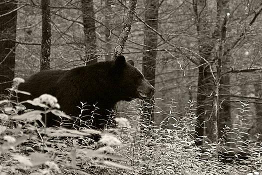 Black bear by Shelly Greer