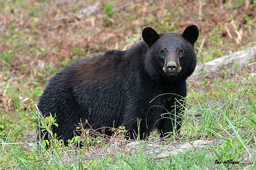 Black Bear Stare.... by Dan Williams