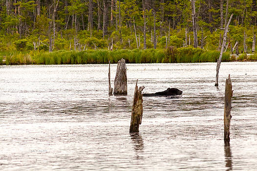 Black Bear Swimming by John Stoj