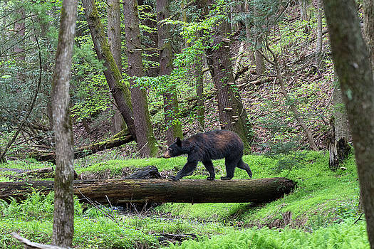 Black bear walking across log by Dan Friend