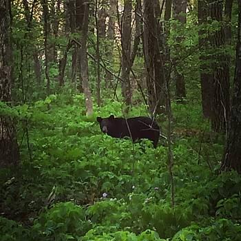 Black Bear by William Sullivan