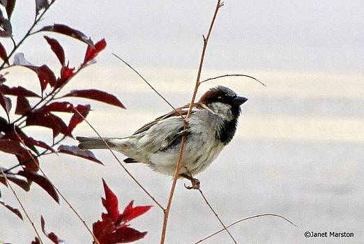 Black Bearded Sparrow 01 by Janet Marston