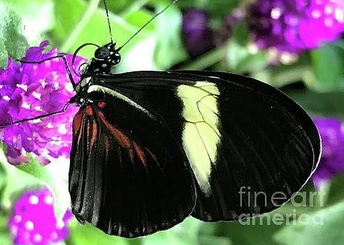 Black Beauty Butterfly by Barbie Corbett-Newmin