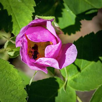 Darcy Michaelchuk - Black Bee Collecting Pollen
