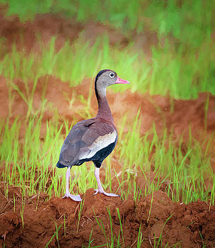 Black-Bellied Whistling Duck Costa Rica by Joan Carroll