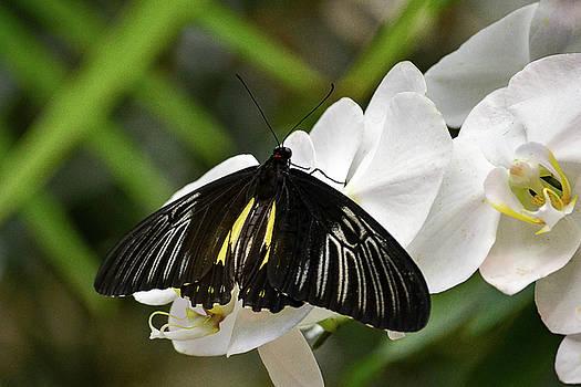 Black ButterFly by Brad Thornton