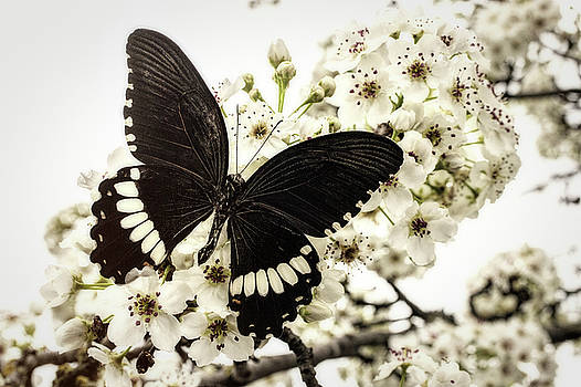 Black Butterfly On Plum Blossoms by Garry Gay