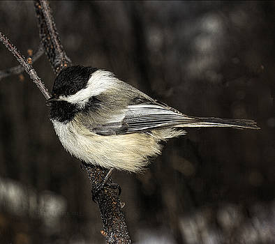 Black-Capped Chickadee by Fred Denner