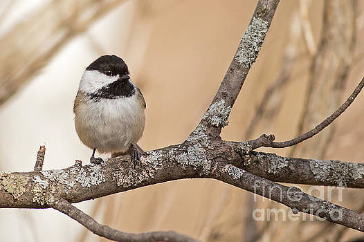 Black Capped Chickadee in Tree by Natural Focal Point Photography