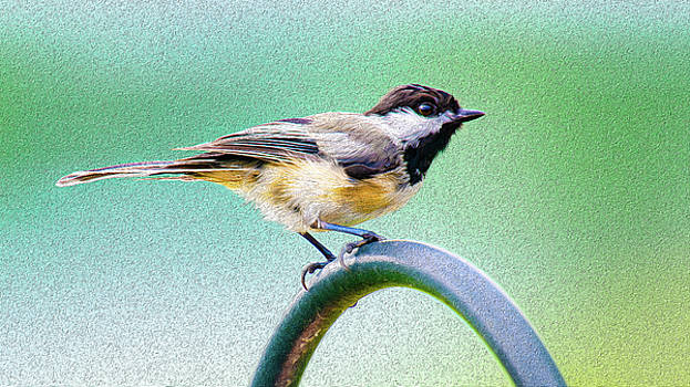 Black-capped Chickadee Oil by Onyonet  Photo Studios