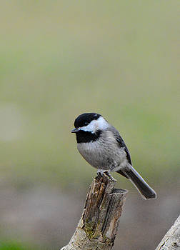 Black Capped Chickadee On A Stump 122120154504 by WildBird Photographs