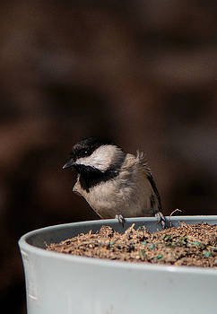 Black Capped Chickadee On Flowerpot 122120151735 by WildBird Photographs