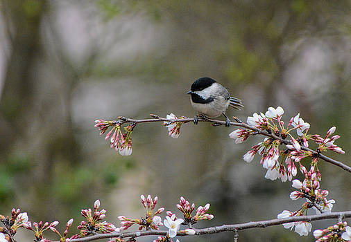 Black Capped Chickadee On Flowers 122120150606 by WildBird Photographs