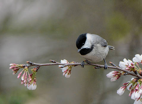 Black Capped Chickadee On Flowers 122120150616 by WildBird Photographs